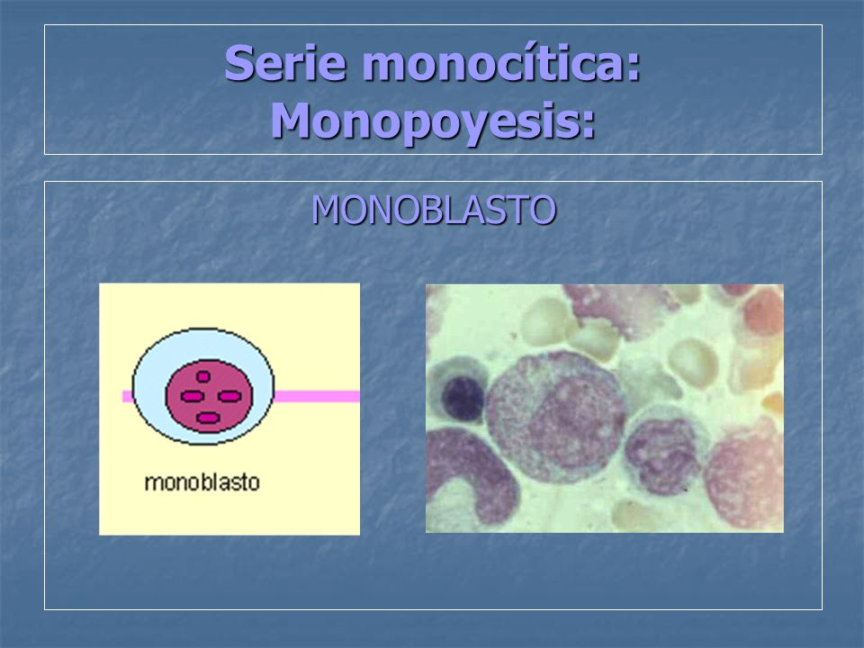 Serie monocítica: Monopoyesis:
