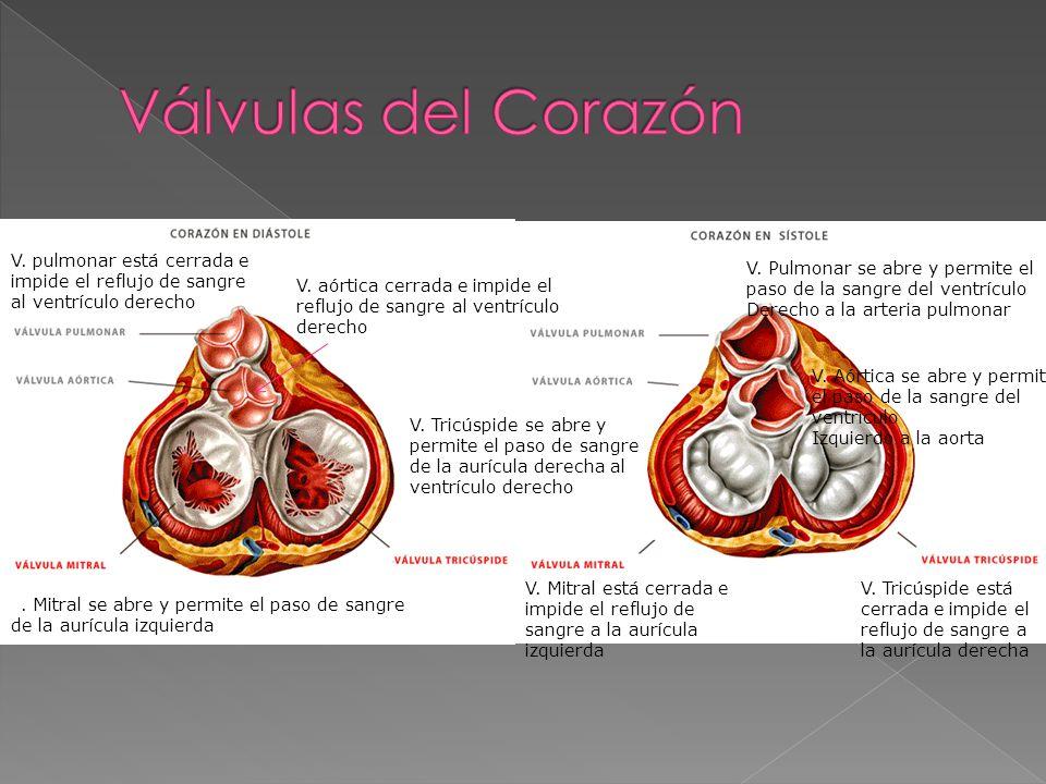 Válvulas del Corazón V. pulmonar está cerrada e impide el reflujo de sangre al ventrículo derecho.