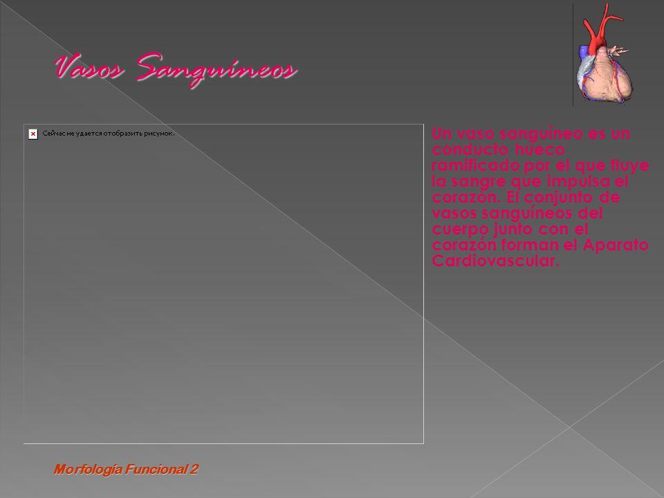 Morfología Funcional 2 Vasos Sanguíneos.