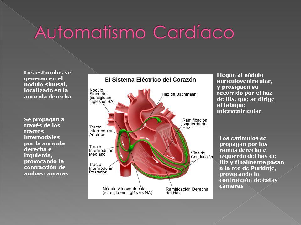 Automatismo Cardíaco Los estímulos se generan en el nódulo sinusal, localizado en la aurícula derecha.