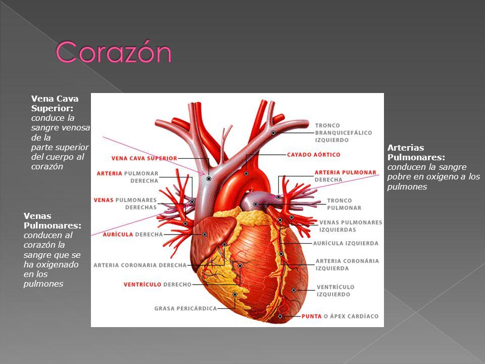 Corazón Vena Cava Superior: conduce la sangre venosa de la