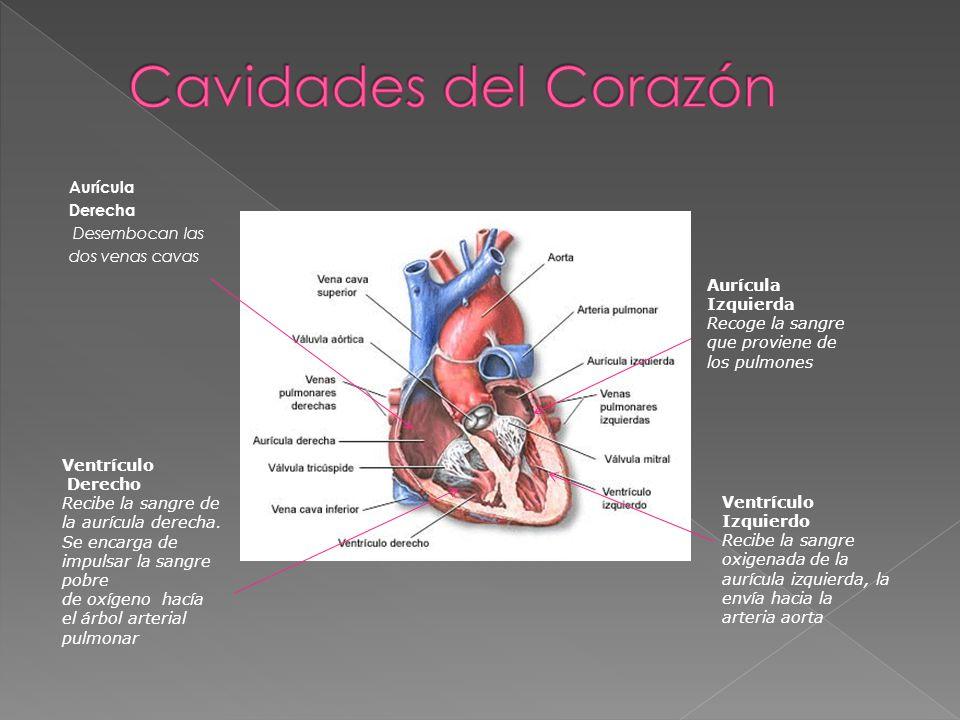 Cavidades del Corazón Aurícula Derecha Desembocan las dos venas cavas