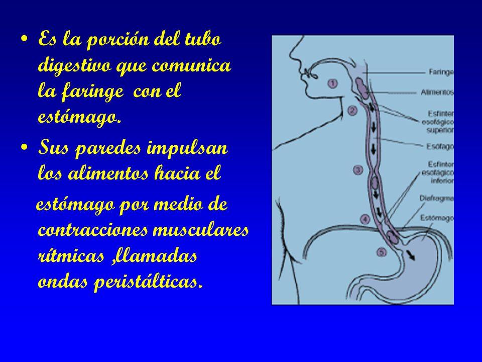 Es la porción del tubo digestivo que comunica la faringe con el estómago.