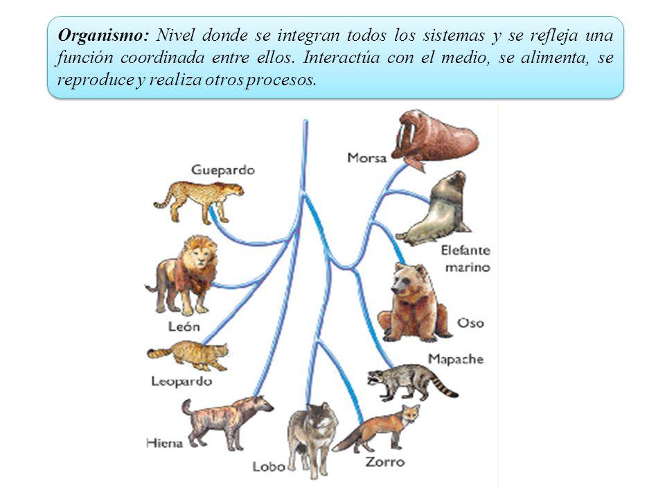 Organismo: Nivel donde se integran todos los sistemas y se refleja una función coordinada entre ellos.