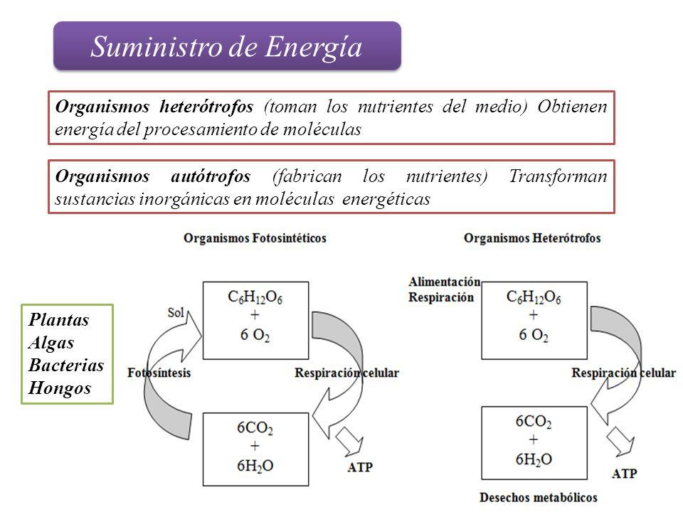Suministro de Energía Organismos heterótrofos (toman los nutrientes del medio) Obtienen energía del procesamiento de moléculas.