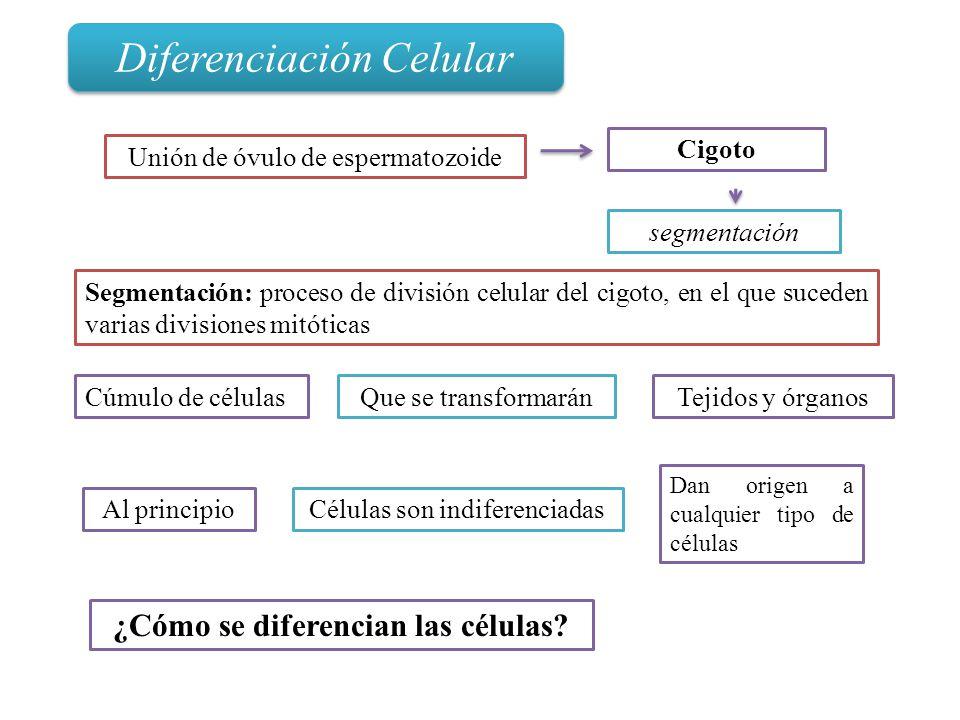 ¿Cómo se diferencian las células