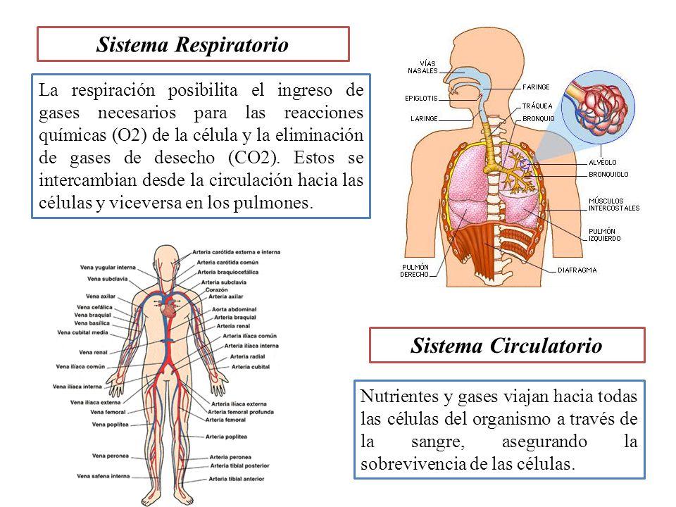 Sistema Respiratorio Sistema Circulatorio