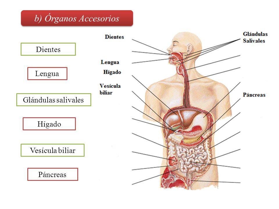 b) Órganos Accesorios Dientes Lengua Glándulas salivales Hígado
