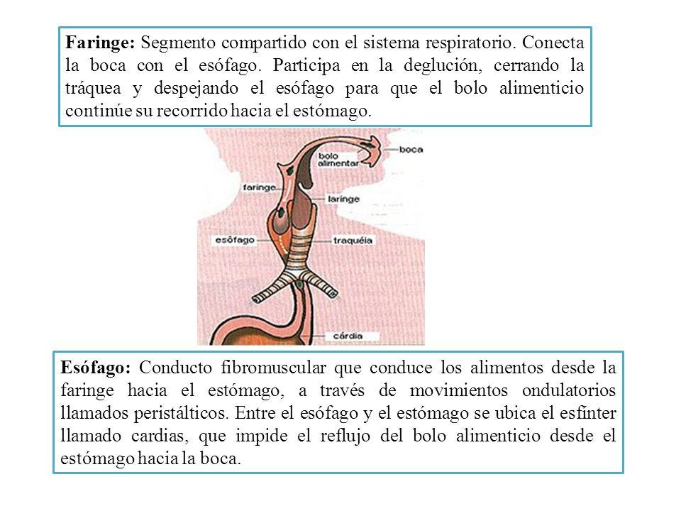 Faringe: Segmento compartido con el sistema respiratorio