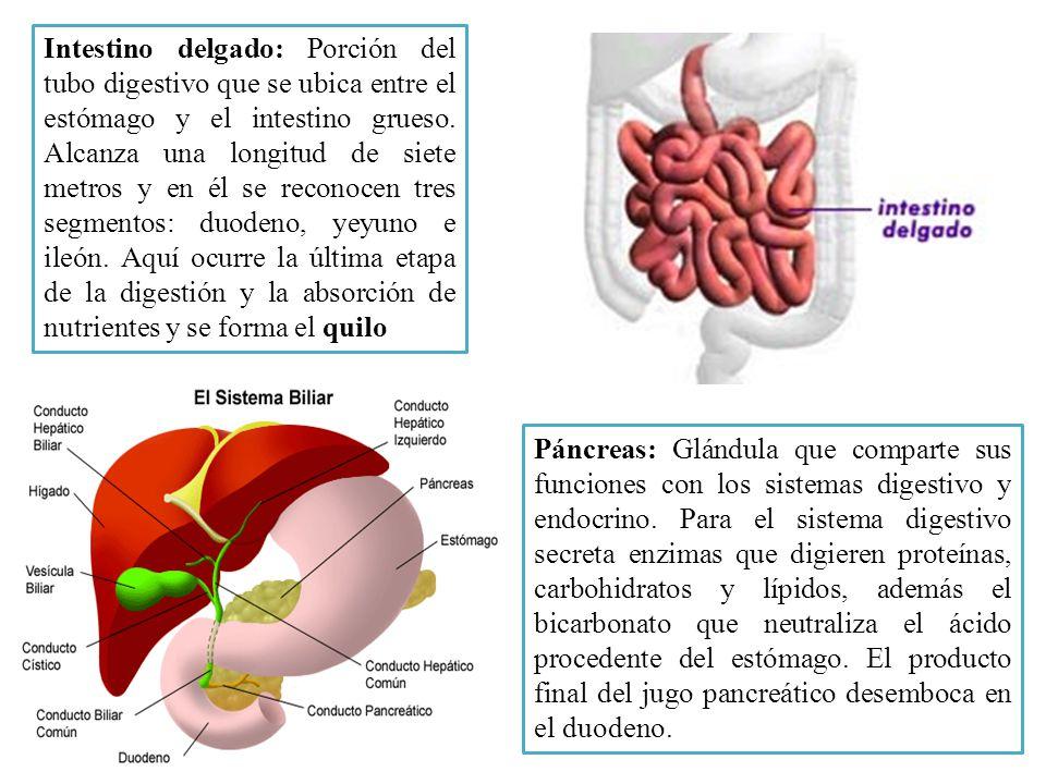 Intestino delgado: Porción del tubo digestivo que se ubica entre el estómago y el intestino grueso. Alcanza una longitud de siete metros y en él se reconocen tres segmentos: duodeno, yeyuno e ileón. Aquí ocurre la última etapa de la digestión y la absorción de nutrientes y se forma el quilo