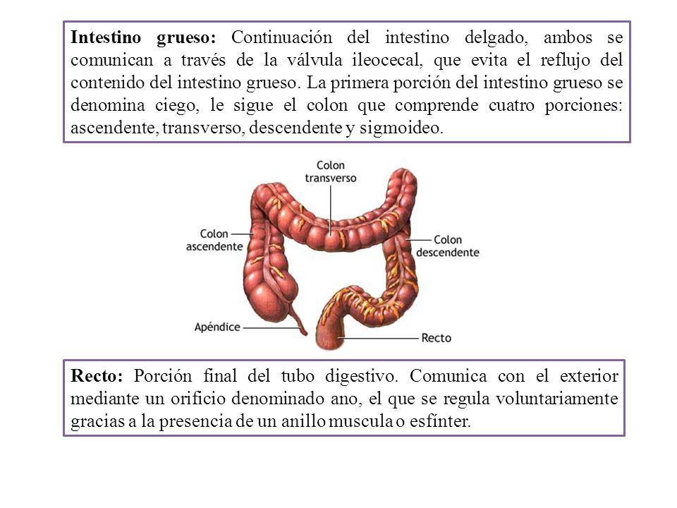 Intestino grueso: Continuación del intestino delgado, ambos se comunican a través de la válvula ileocecal, que evita el reflujo del contenido del intestino grueso. La primera porción del intestino grueso se denomina ciego, le sigue el colon que comprende cuatro porciones: ascendente, transverso, descendente y sigmoideo.