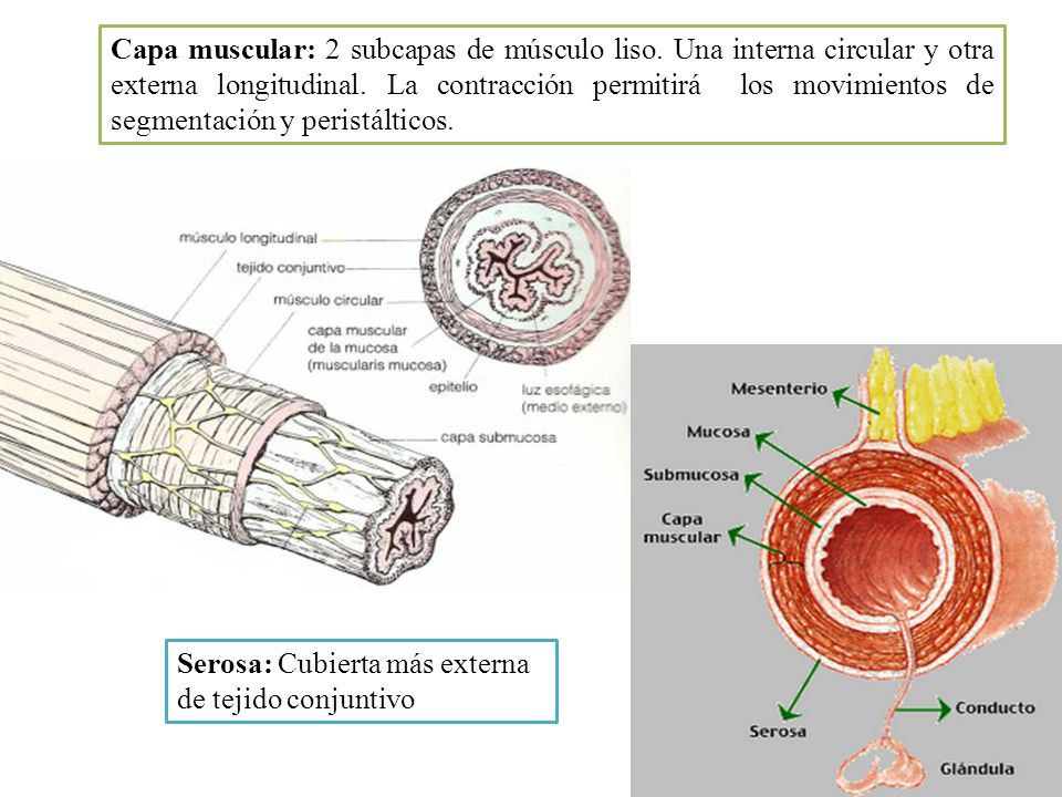 Capa muscular: 2 subcapas de músculo liso