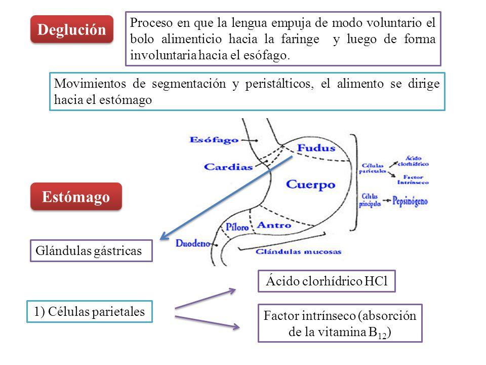 Factor intrínseco (absorción de la vitamina B12)