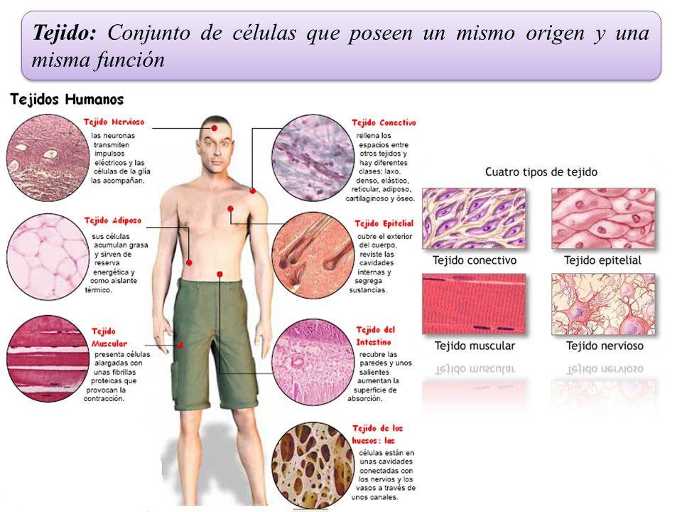 Tejido: Conjunto de células que poseen un mismo origen y una misma función