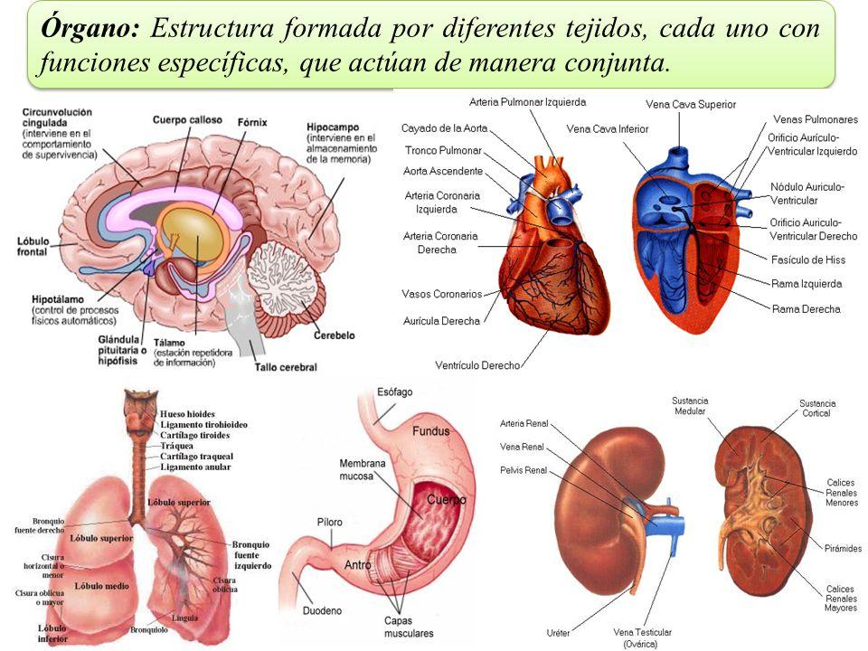 Órgano: Estructura formada por diferentes tejidos, cada uno con funciones específicas, que actúan de manera conjunta.