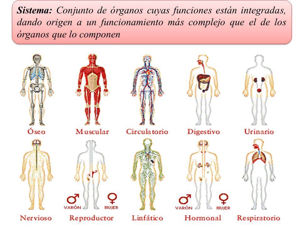 Sistema: Conjunto de órganos cuyas funciones están integradas, dando origen a un funcionamiento más complejo que el de los órganos que lo componen