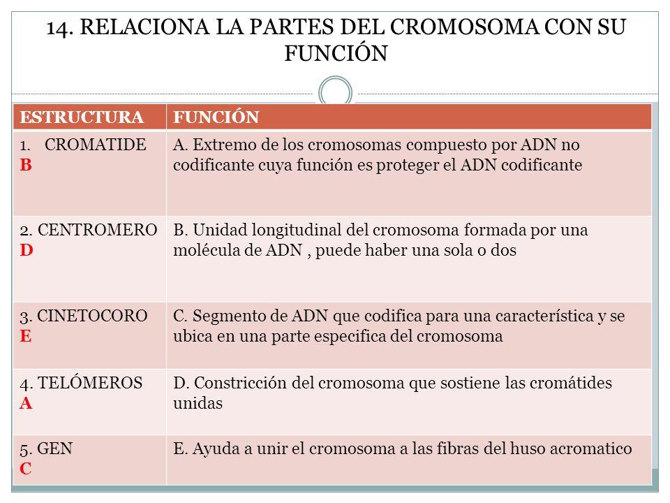 14. RELACIONA LA PARTES DEL CROMOSOMA CON SU FUNCIÓN