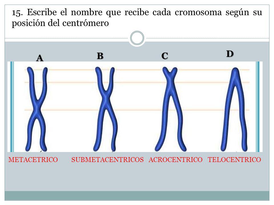 15. Escribe el nombre que recibe cada cromosoma según su posición del centrómero