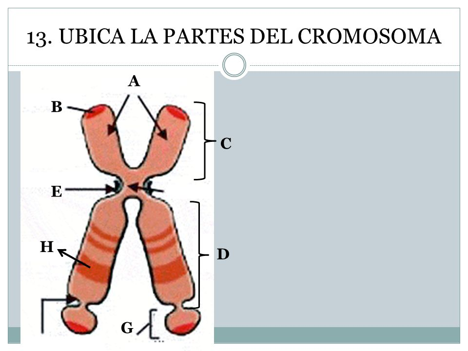 13. UBICA LA PARTES DEL CROMOSOMA