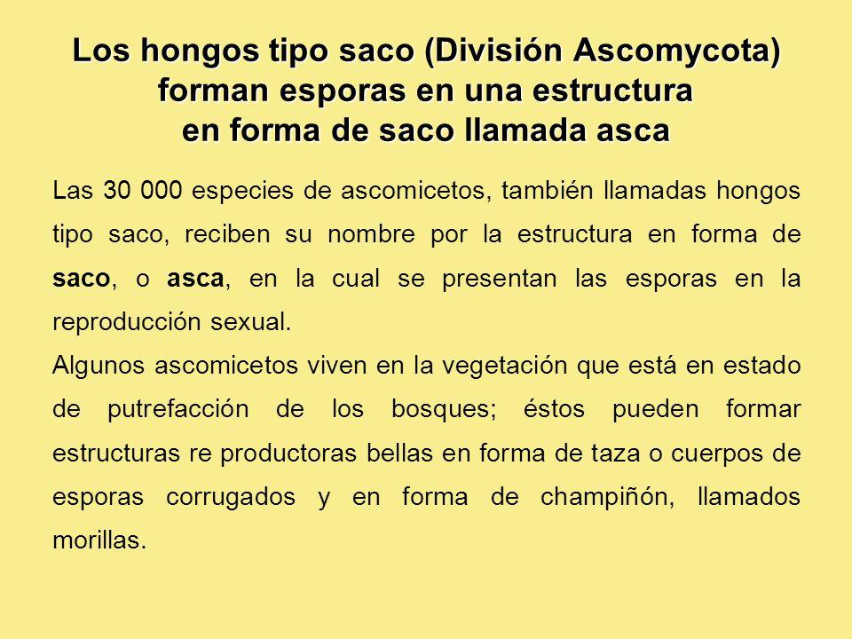 Los hongos tipo saco (División Ascomycota) forman esporas en una estructura en forma de saco llamada asca