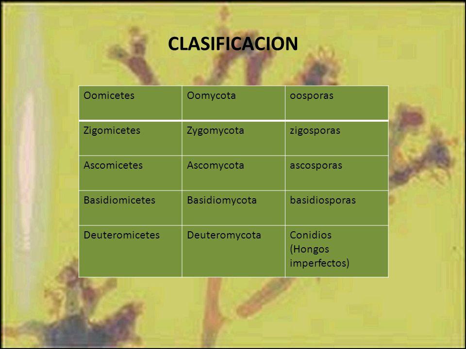 CLASIFICACION Oomicetes Oomycota oosporas Zigomicetes Zygomycota