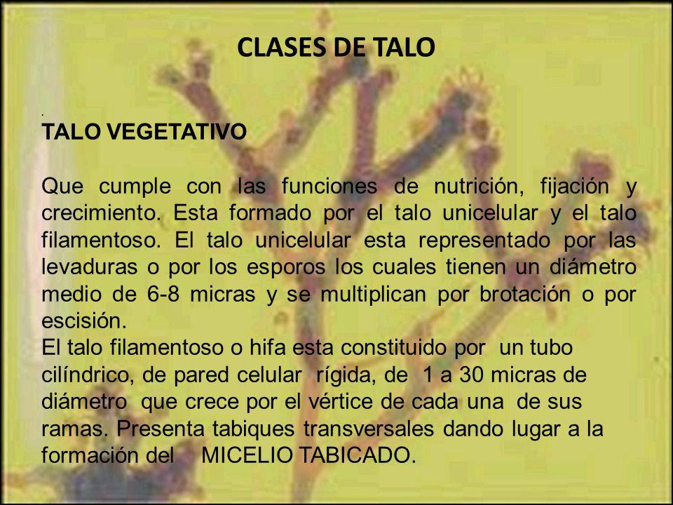 CLASES DE TALO TALO VEGETATIVO