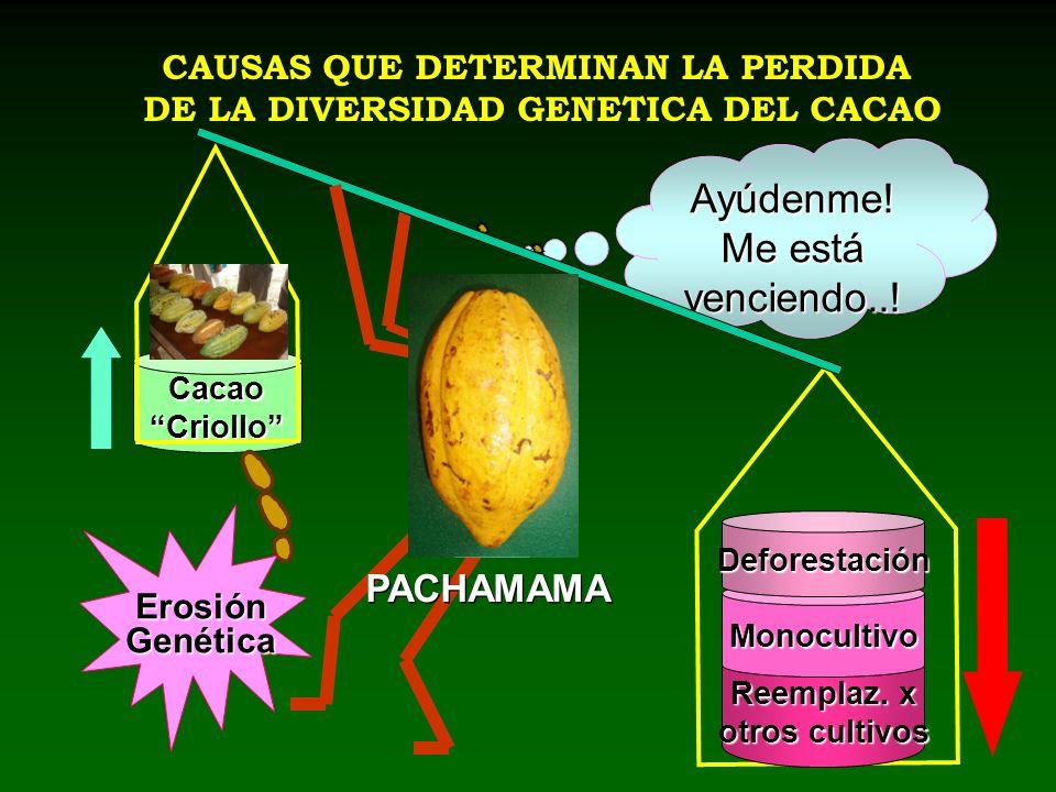 CAUSAS QUE DETERMINAN LA PERDIDA DE LA DIVERSIDAD GENETICA DEL CACAO