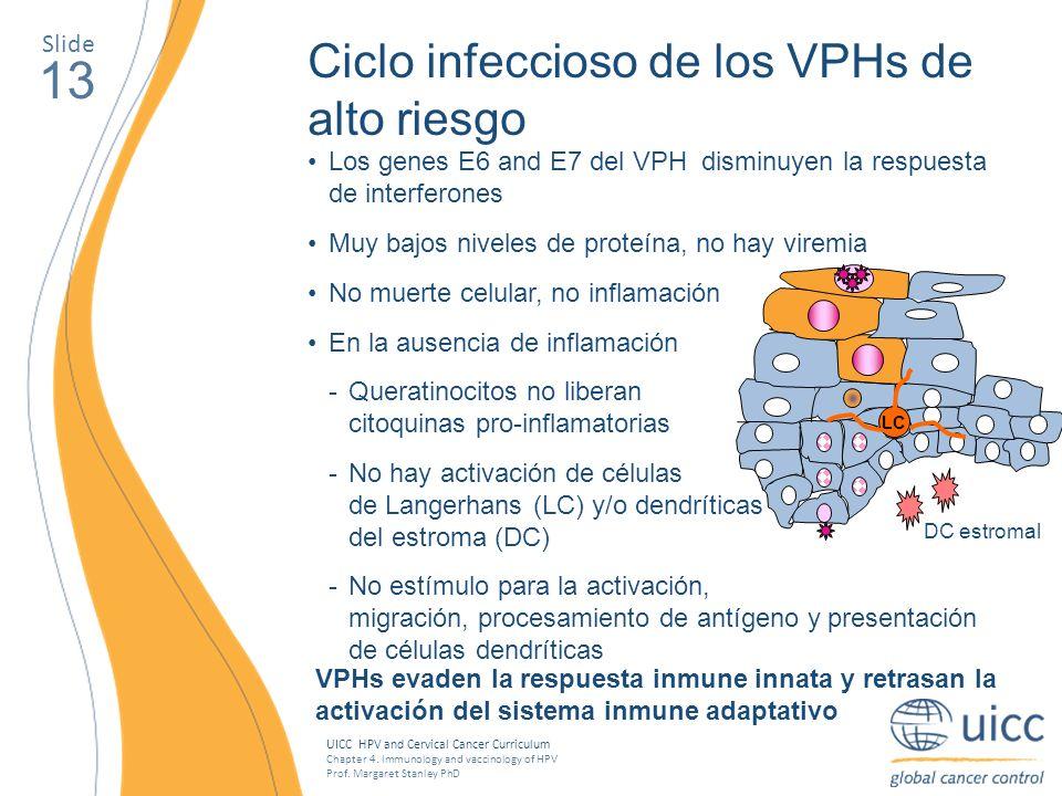 13 Ciclo infeccioso de los VPHs de alto riesgo Slide