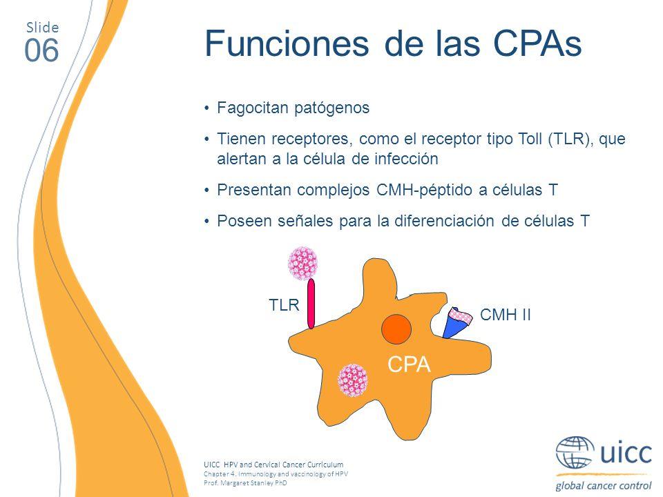 Funciones de las CPAs 06 CPA Slide Fagocitan patógenos