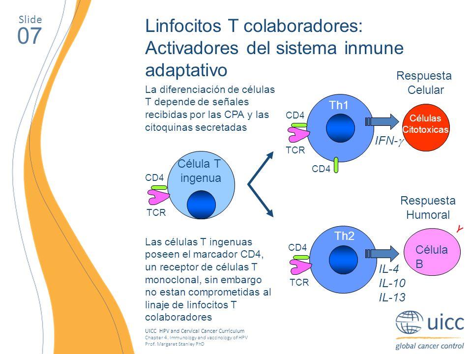 Slide Linfocitos T colaboradores: Activadores del sistema inmune adaptativo. 07. Respuesta. Celular.