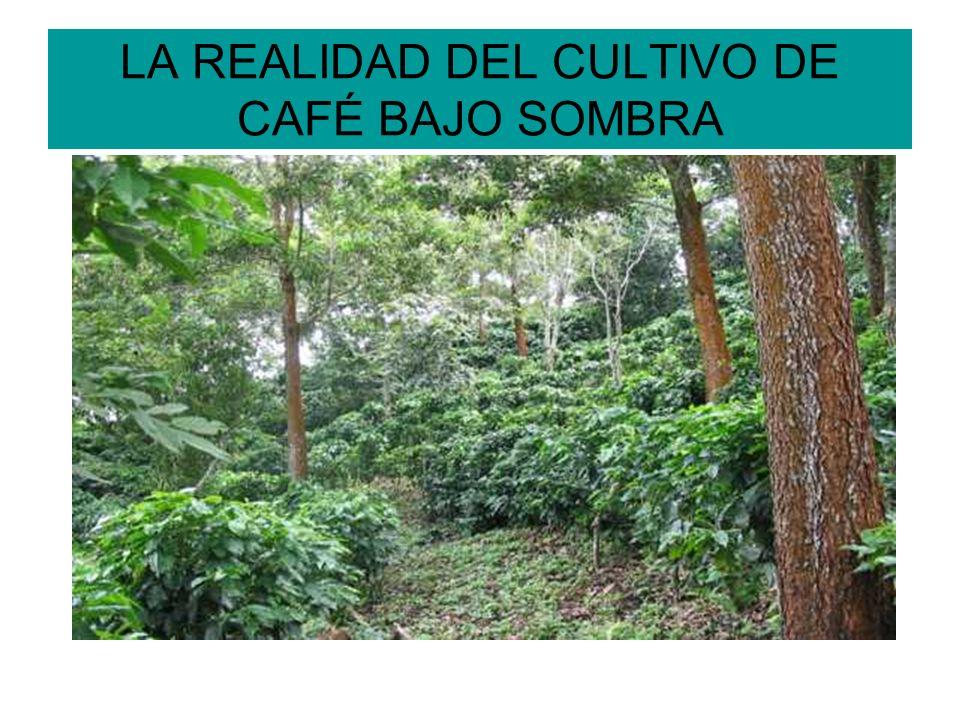 LA REALIDAD DEL CULTIVO DE CAFÉ BAJO SOMBRA