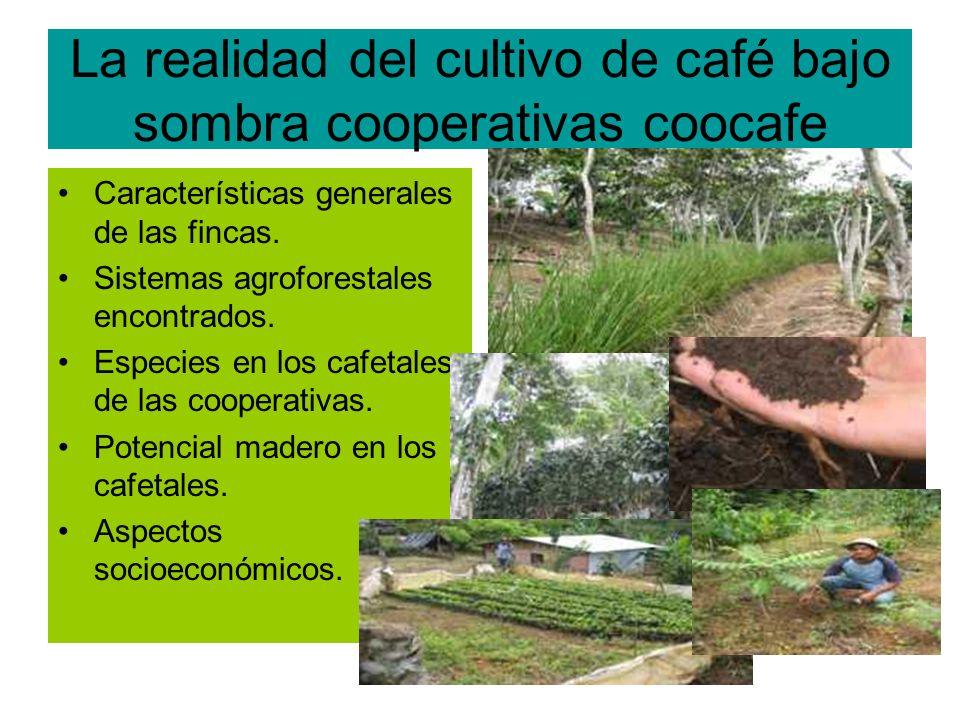 La realidad del cultivo de café bajo sombra cooperativas coocafe