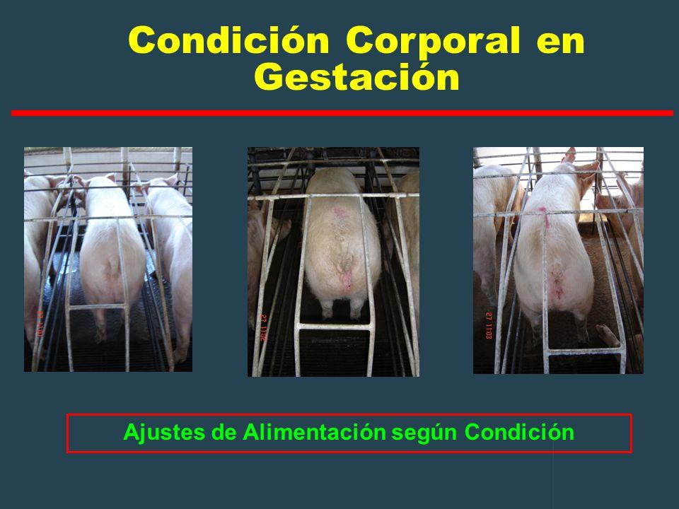 Condición Corporal en Gestación