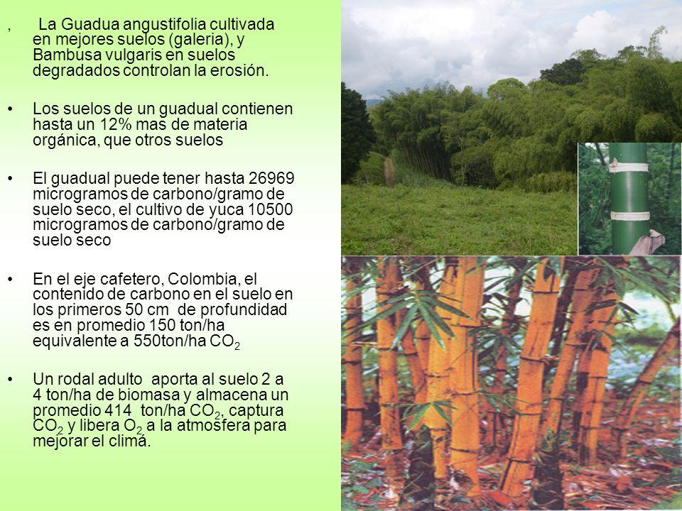 , La Guadua angustifolia cultivada en mejores suelos (galeria), y Bambusa vulgaris en suelos degradados controlan la erosión.