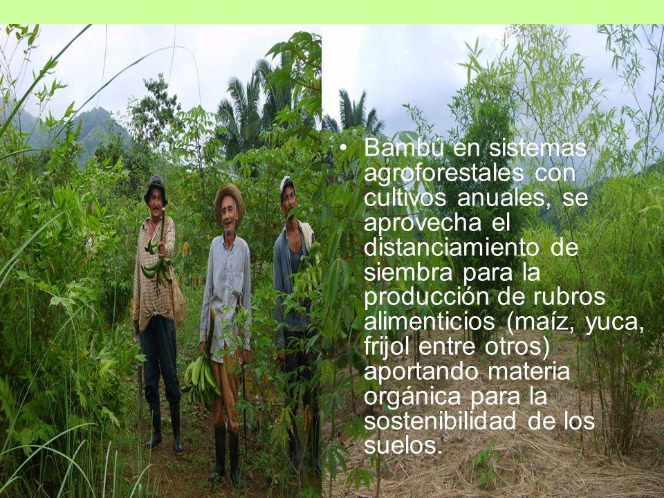 Bambú en sistemas agroforestales con cultivos anuales, se aprovecha el distanciamiento de siembra para la producción de rubros alimenticios (maíz, yuca, frijol entre otros) aportando materia orgánica para la sostenibilidad de los suelos.