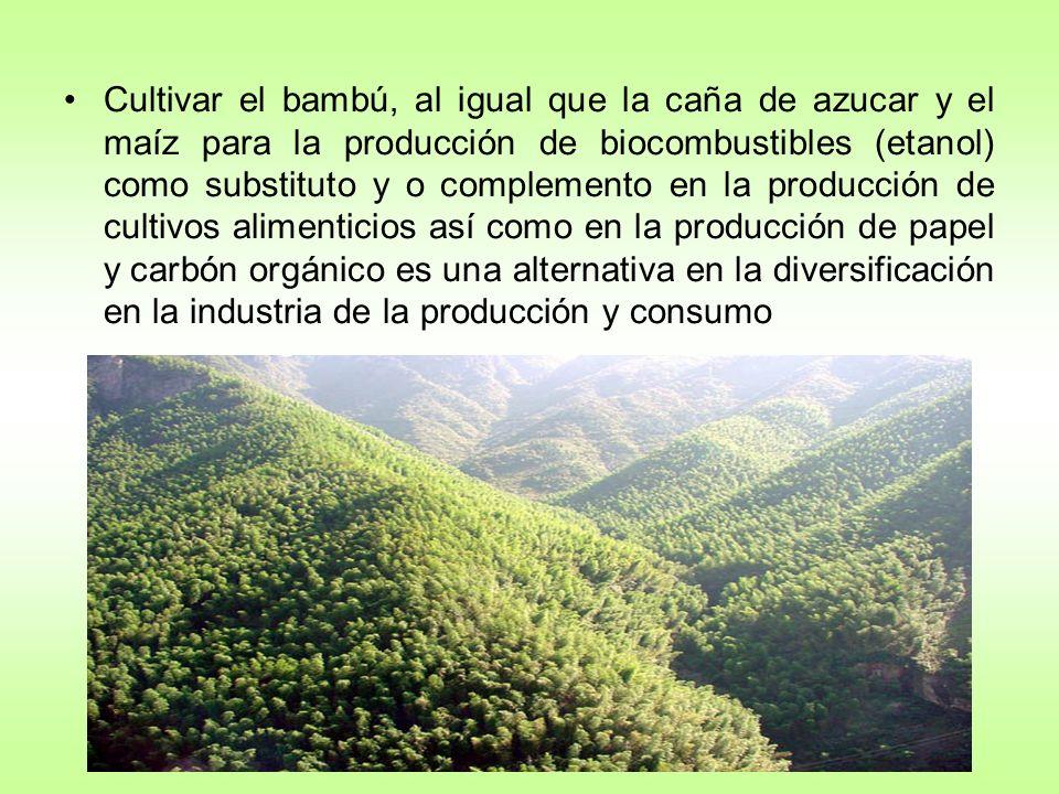 Cultivar el bambú, al igual que la caña de azucar y el maíz para la producción de biocombustibles (etanol) como substituto y o complemento en la producción de cultivos alimenticios así como en la producción de papel y carbón orgánico es una alternativa en la diversificación en la industria de la producción y consumo