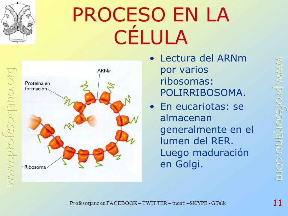 PROCESO EN LA CÉLULA Lectura del ARNm por varios ribosomas: POLIRRIBOSOMA.