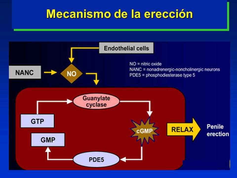 Mecanismo de la erección