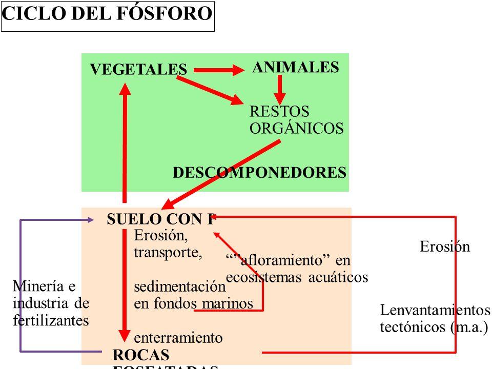 CICLO DEL FÓSFORO ANIMALES VEGETALES RESTOS ORGÁNICOS DESCOMPONEDORES