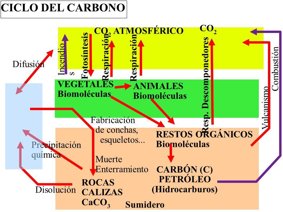 CICLO DEL CARBONO CO2 CO2 ATMOSFÉRICO Fotosíntesis Respiración