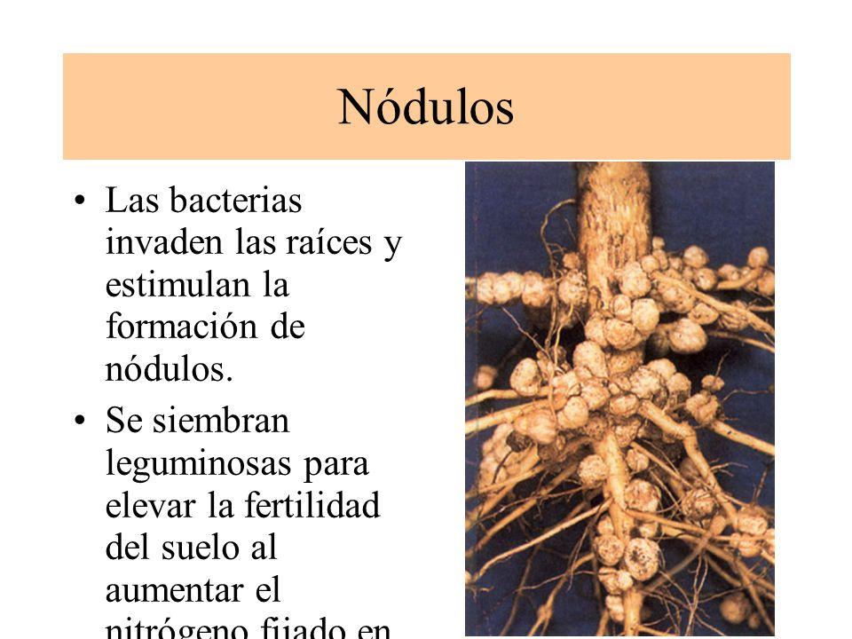 Nódulos Las bacterias invaden las raíces y estimulan la formación de nódulos.