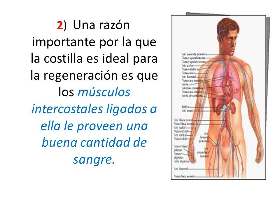 2) Una razón importante por la que la costilla es ideal para la regeneración es que los músculos intercostales ligados a ella le proveen una buena cantidad de sangre.