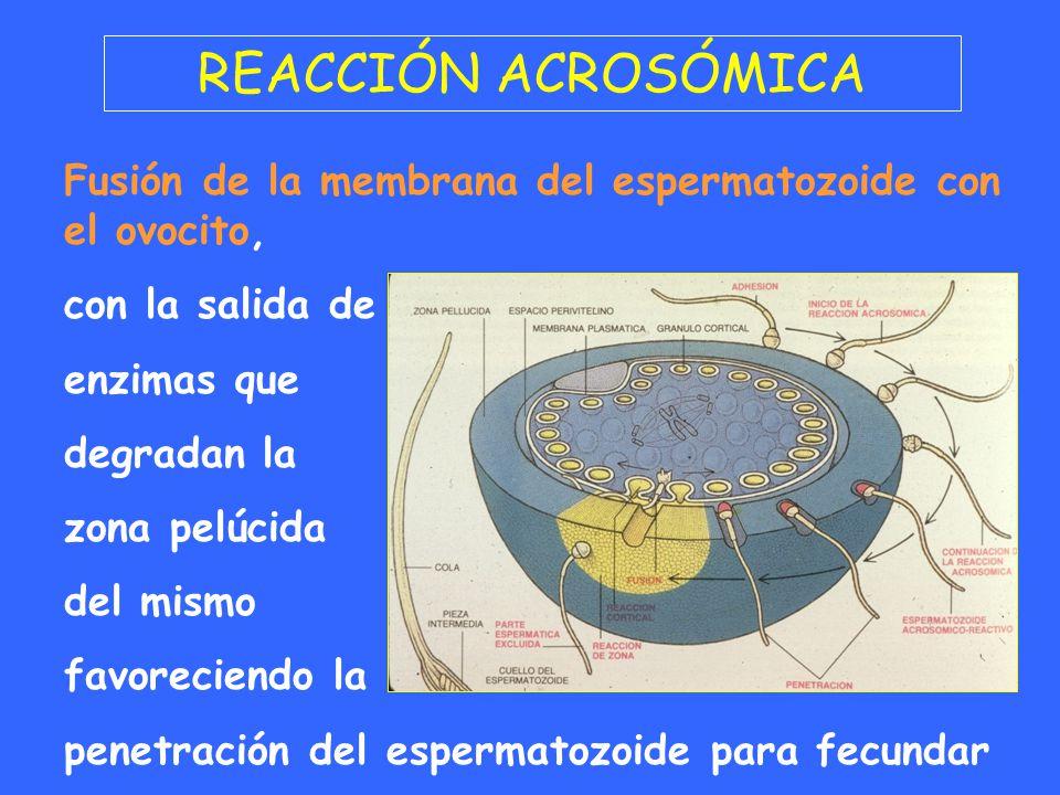 REACCIÓN ACROSÓMICA Fusión de la membrana del espermatozoide con el ovocito, con la salida de. enzimas que.