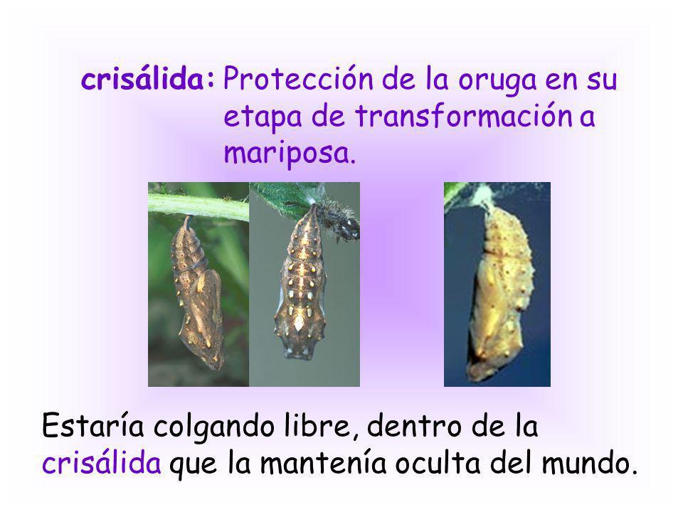 crisálida: Protección de la oruga en su etapa de transformación a mariposa.