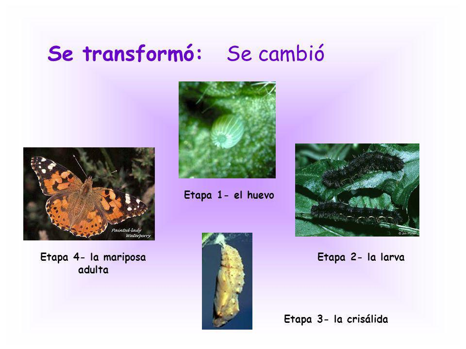 Etapa 4- la mariposa adulta