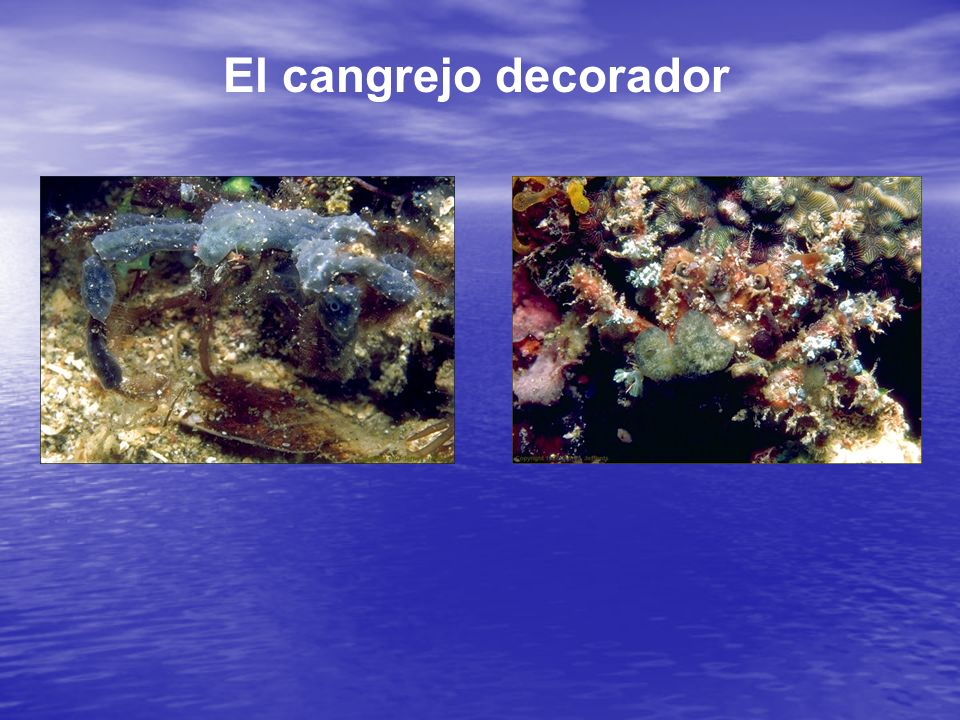 El cangrejo decorador