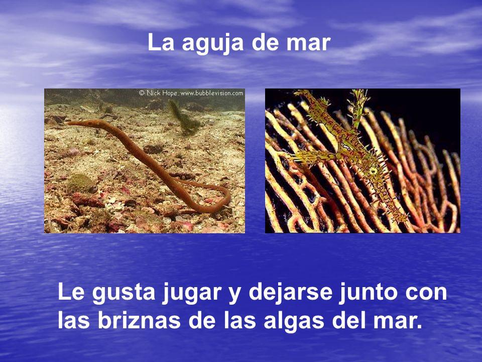 La aguja de mar Le gusta jugar y dejarse junto con las briznas de las algas del mar.