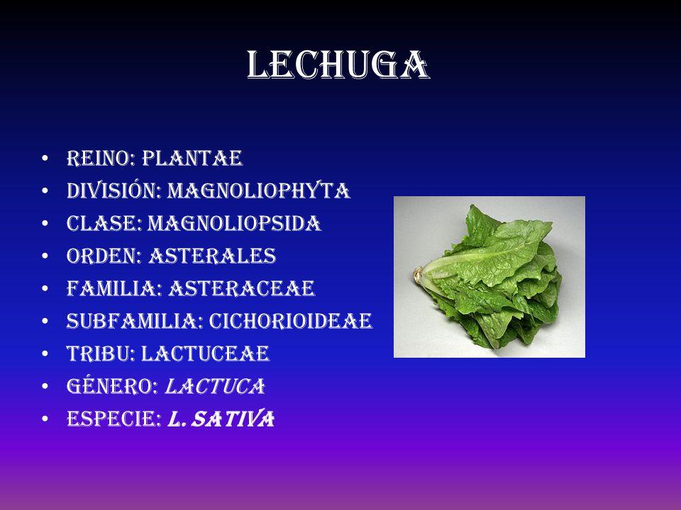 lechuga Reino: Plantae División: Magnoliophyta Clase: Magnoliopsida