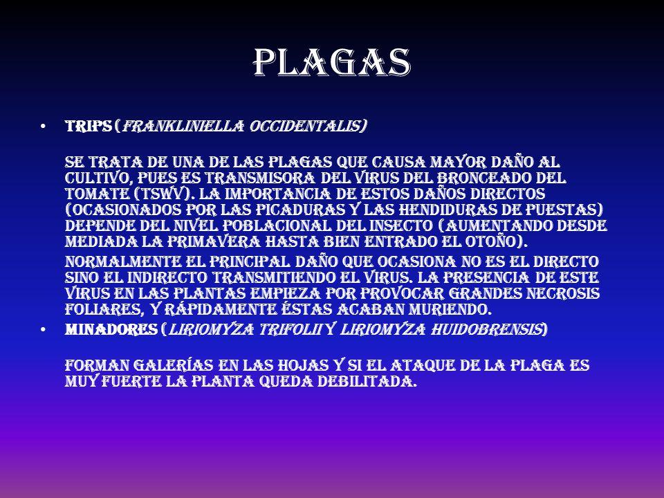 plagas Trips (Frankliniella occidentalis)