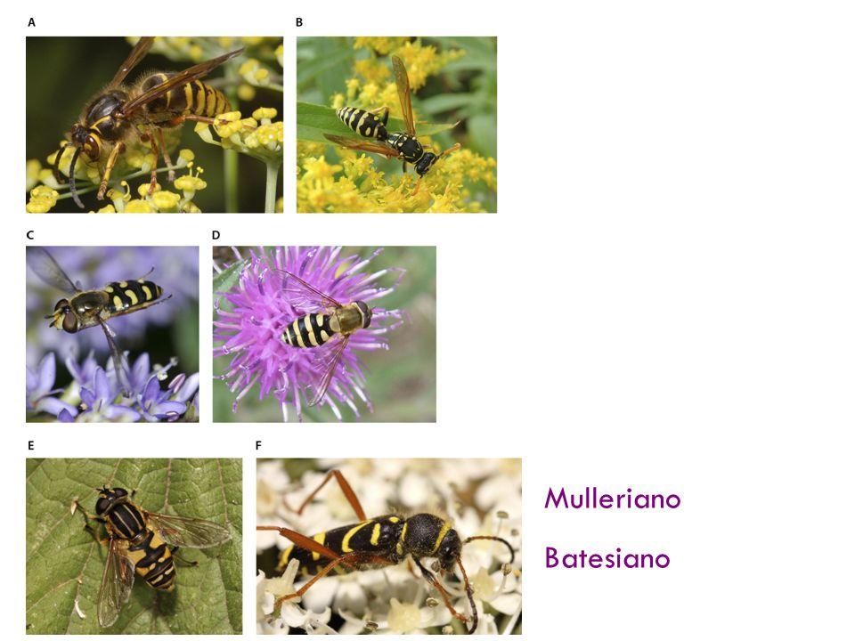 Mimetismo Dos especies de avispas (A, B) y cuatro aceptables mimetismos (C – F). Mulleriano (Genuino)